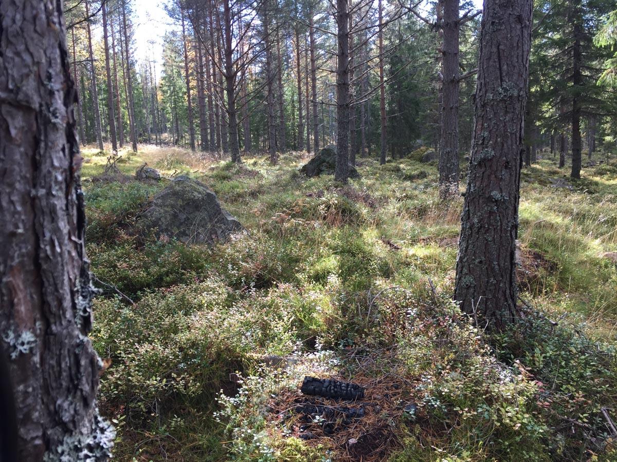 Elgjagt i Värmland 1